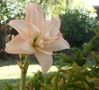 Picotee amaryllis blooming for the third year