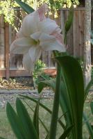 Picotee amaryllis
