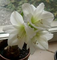 Antarctic amaryllis variety