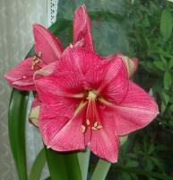 Hercules Amaryllis