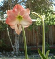 Appleblossom amaryllis