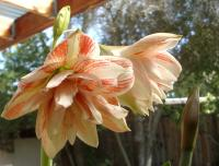 Dancing Queen amaryllis